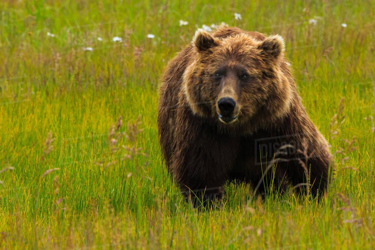 Brown bear, Lake Clark National Park, Alaska, USA Royalty-free stock photo