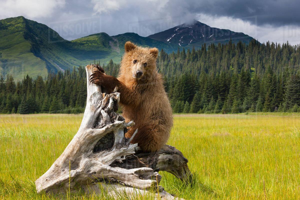 Brown bear, Lake Clark National Park, Alaska Royalty-free stock photo