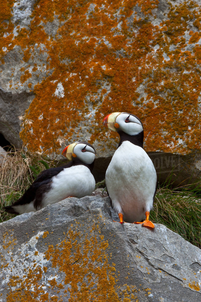 Puffins on a lichen-covered cliff. Horned puffins, Fratercula corniculata, Lake Clark National Park, Alaska, USA Royalty-free stock photo