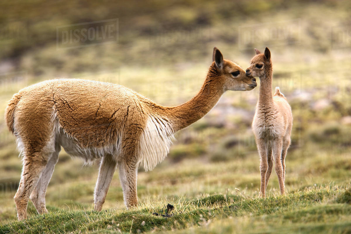 Guanaco, cria, Lauca National Park, Chile Royalty-free stock photo