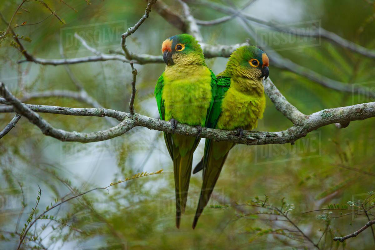Peach-fronted parakeets, Aratinga aurea, Brazil Royalty-free stock photo