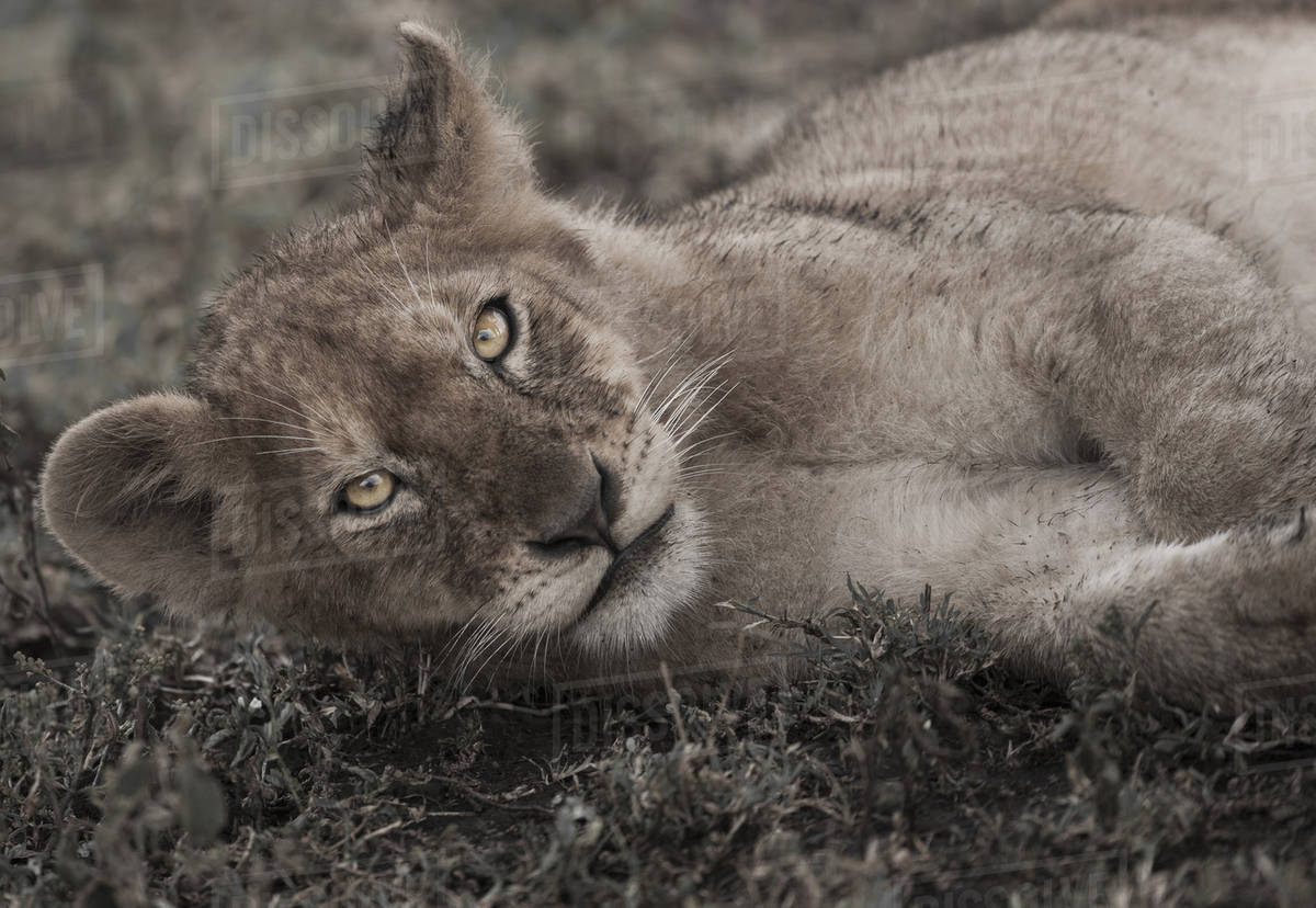 Lion cub lying on the ground in the Serengeti National Park, Tanzania Royalty-free stock photo