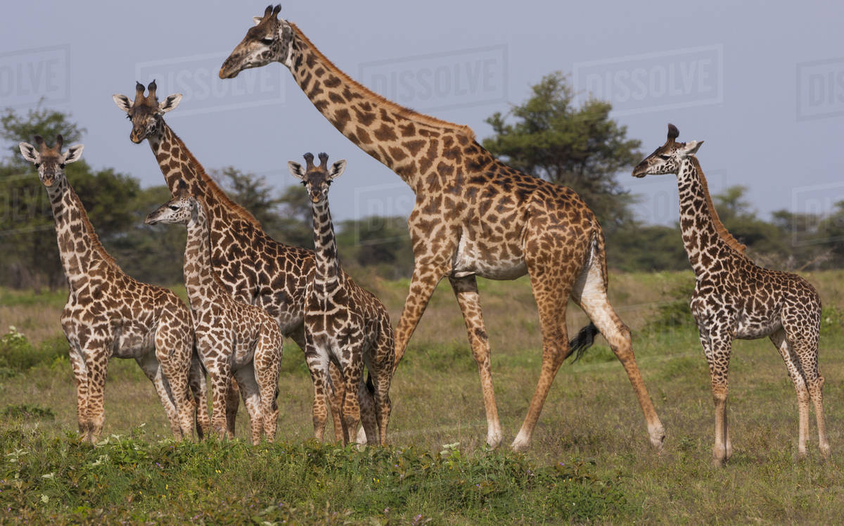 A small group of Masai giraffe in Serengeti National Park, Tanzania Royalty-free stock photo