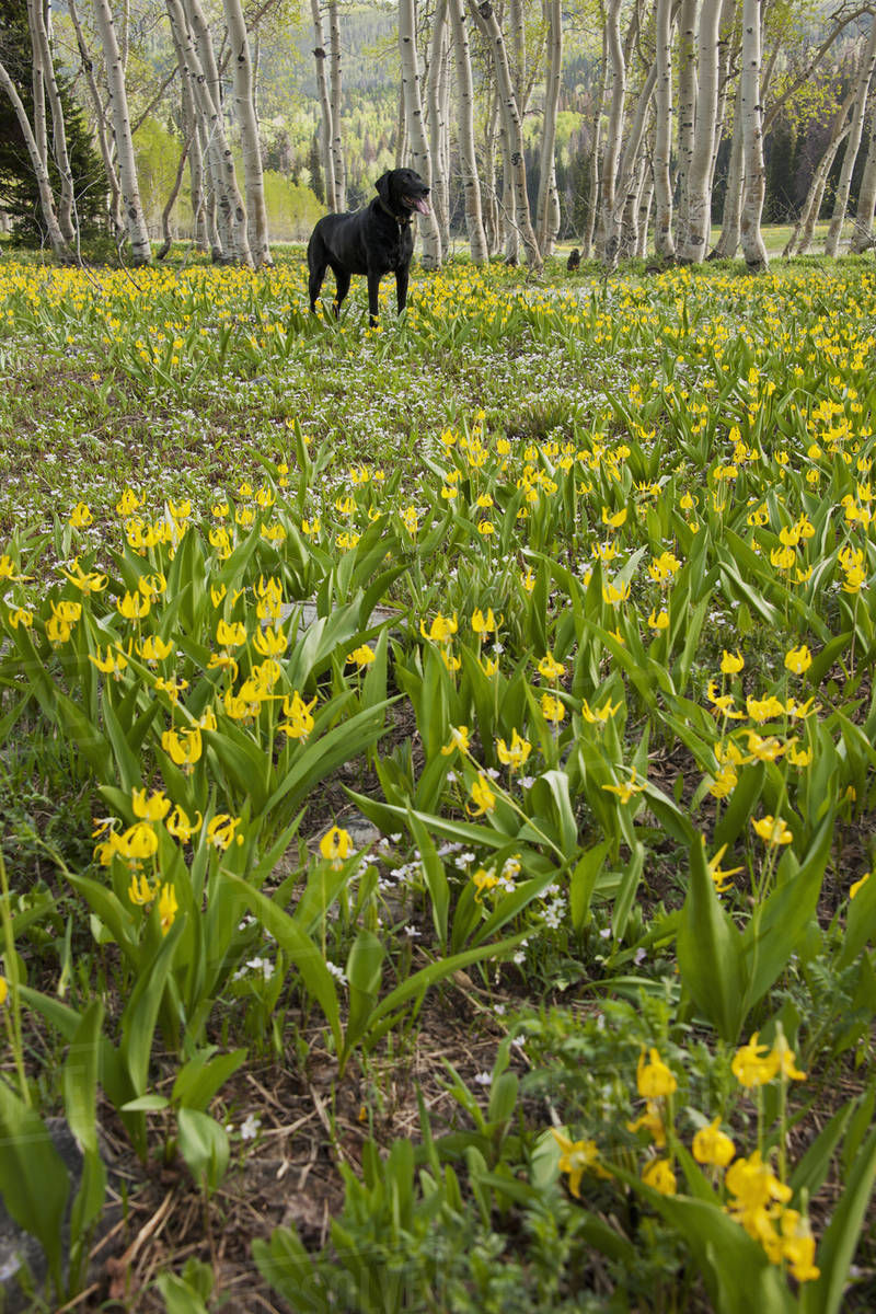 A black Labrador retriever dog in a meadow of tall grasses and yellow wild flowers, such as glacial lilies.  Royalty-free stock photo
