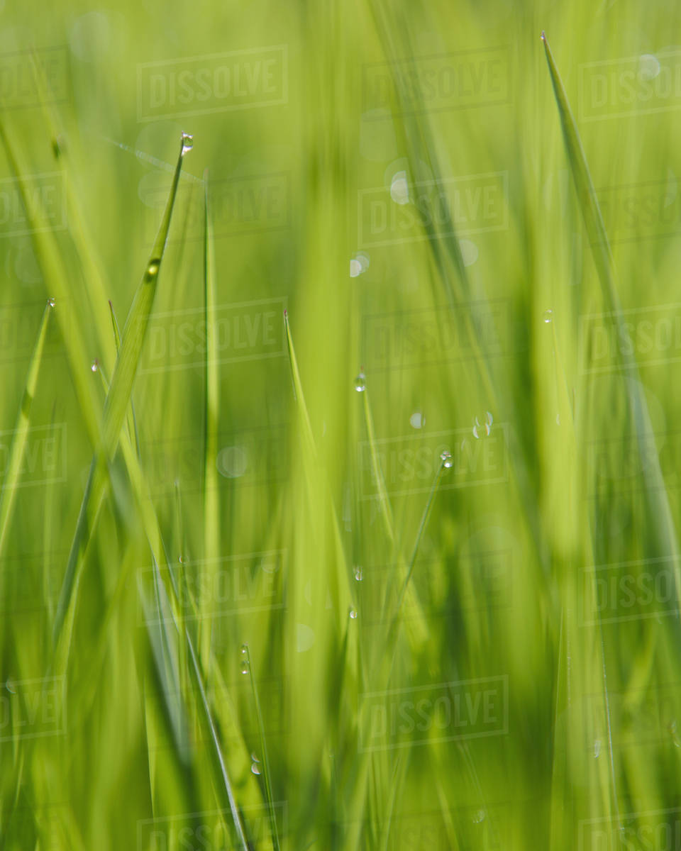 Close up of water drops on blades of lush, green grass, Olympic NP Royalty-free stock photo