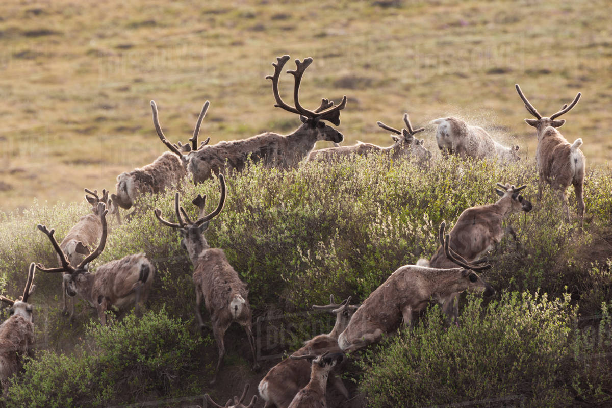 Caribou migrate through the Arctic National Wildlife Refuge, Alaska, USA Royalty-free stock photo