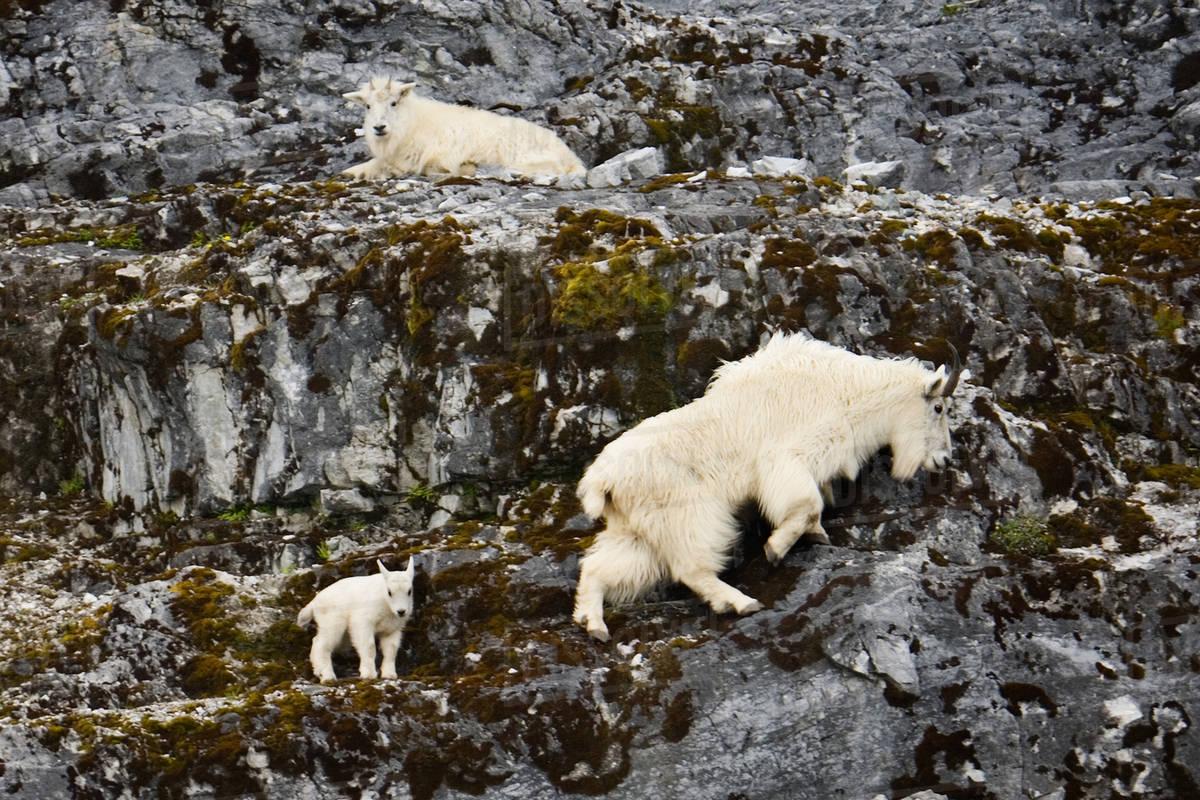 Mountain goats and kid, Glacier Bay National Park and Preserve, Alaska Royalty-free stock photo