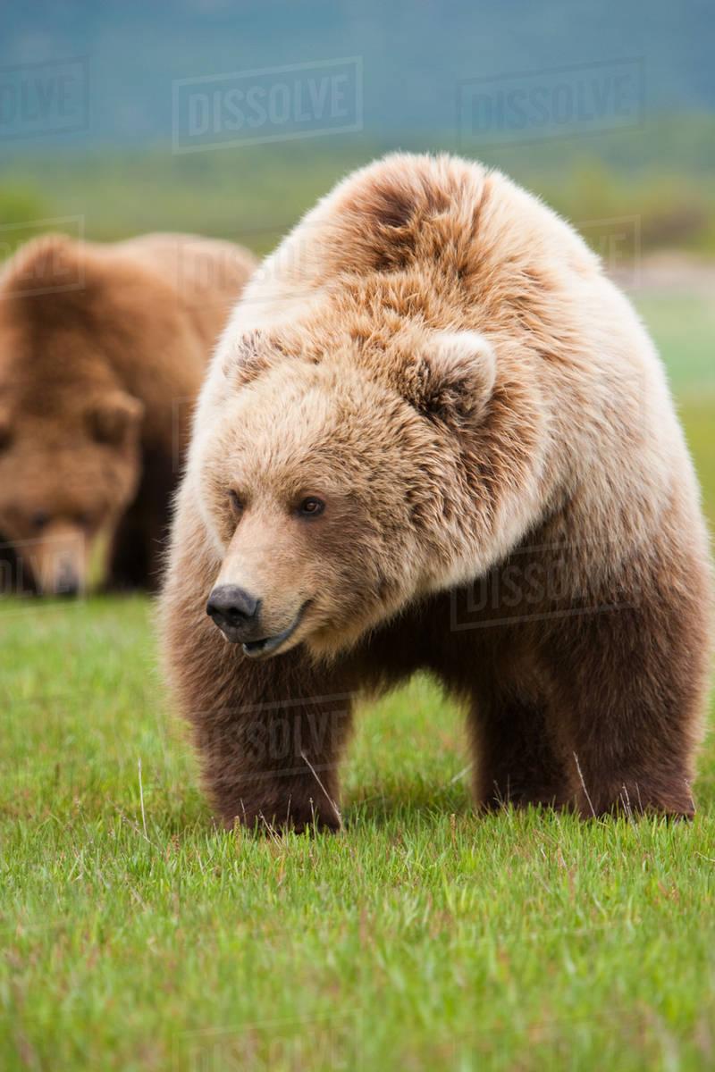 A brown bear on grassland at Katmai National park.  Royalty-free stock photo