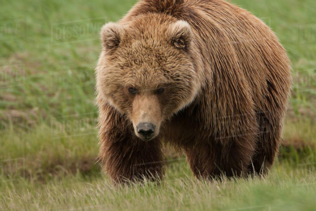 Brown bear, Katmai National Park, Alaska, USA Royalty-free stock photo