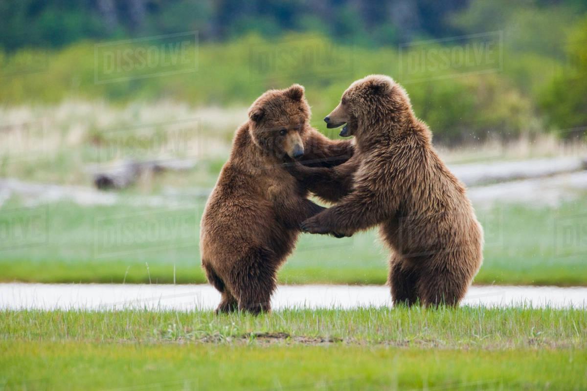 Brown bears, Katmai National Park, Alaska, USA Royalty-free stock photo