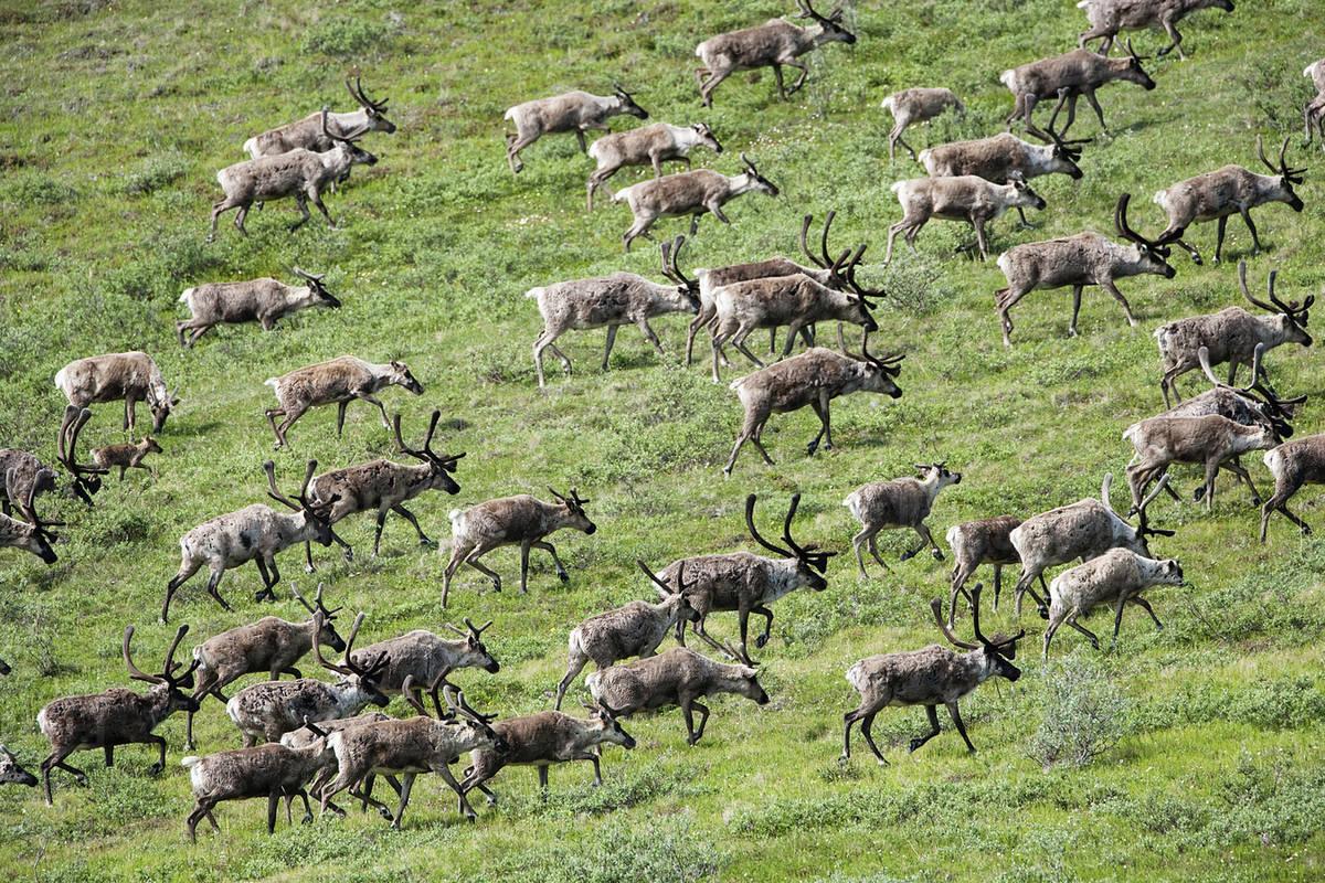 Caribou, Arctic National Wildlife Refuge, Alaska, USA Royalty-free stock photo