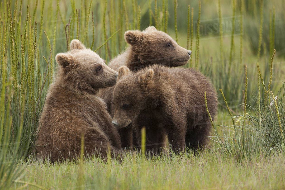 Brown bear cubs, Lake Clark National Park, Alaska, USA Royalty-free stock photo