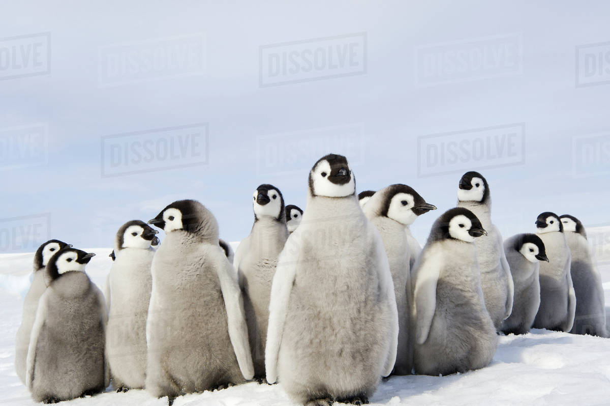 A nursery group of Emperor penguin chicks, huddled together, looking around.  A breeding colony. Royalty-free stock photo