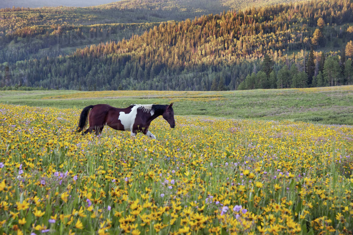 Horse in a field of wildflowers. Uinta Mountains, Utah. Royalty-free stock photo