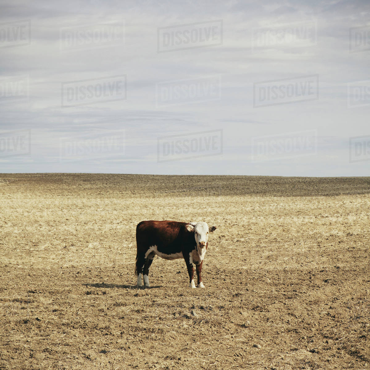 A cow standing in an open field in Palouse, in Whitman County, Washington, in the USA. Royalty-free stock photo