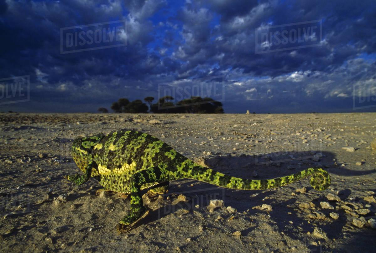 Flap-necked chameleon, Chamaeleo dilepis, Makgadikgadi Pans, Kalahari Desert, Botswana Royalty-free stock photo