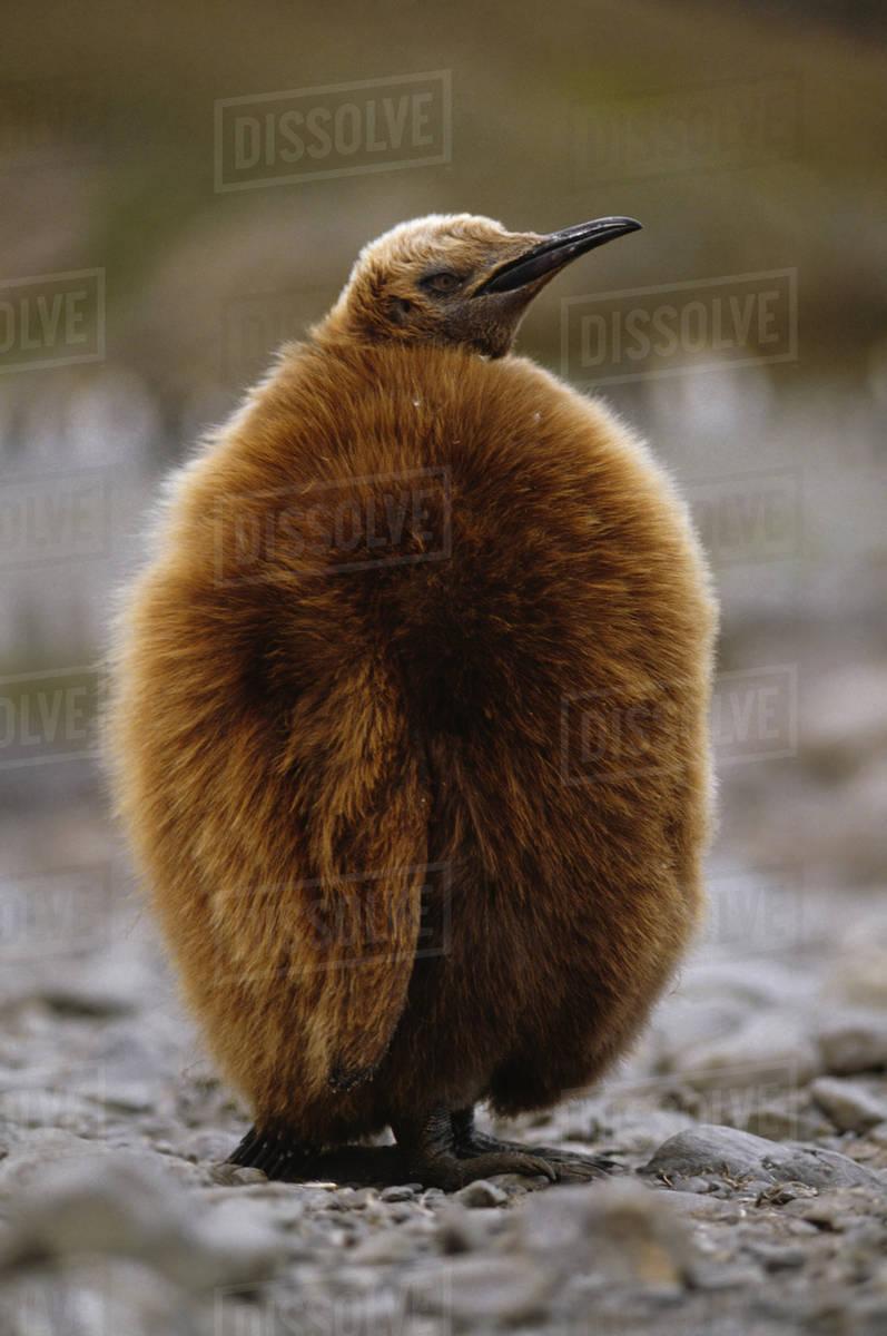 King penguin chick, Aptenodytes patagonicus, South Georgia Island Royalty-free stock photo