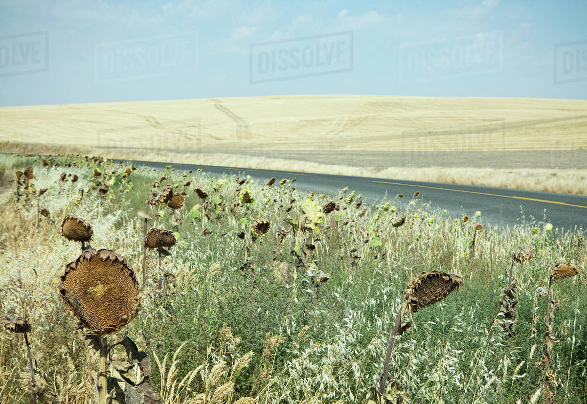 Dried sunflowers on the roadside, in a rolling landscape of farmland near Palouse in Washington state. Royalty-free stock photo