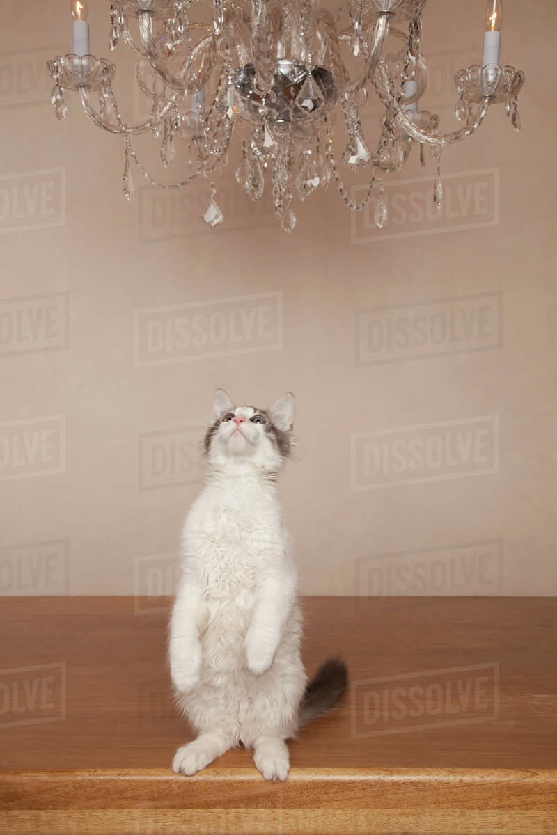 A cat under a chandelier, on its haunches looking upwards. Royalty-free stock photo