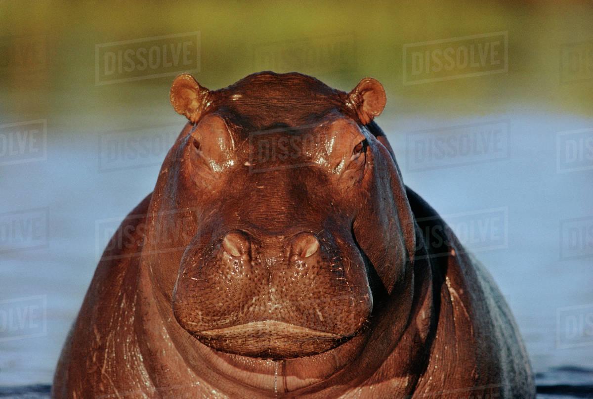 Hippo, Hippopotamus amphibius, Okavango Delta, Botswana Rights-managed stock photo