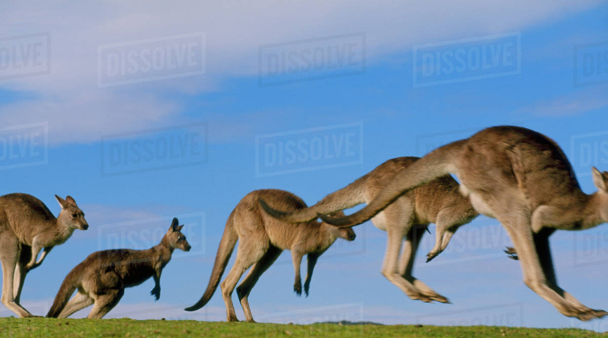 Eastern gray kangaroos jumping, Macropus giganteus, Murramarang National Park, Australia Rights-managed stock photo