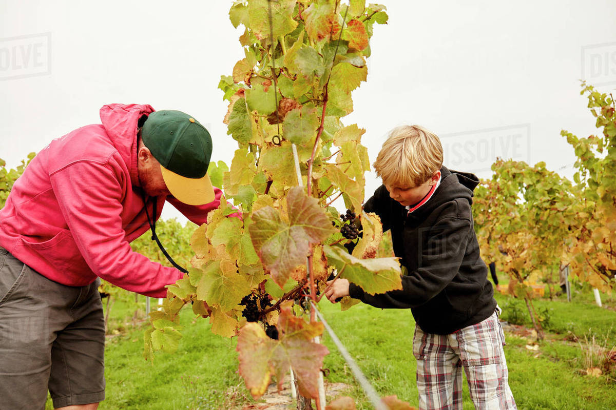 Two people, father and son harvesting grapes from the vines.  Royalty-free stock photo
