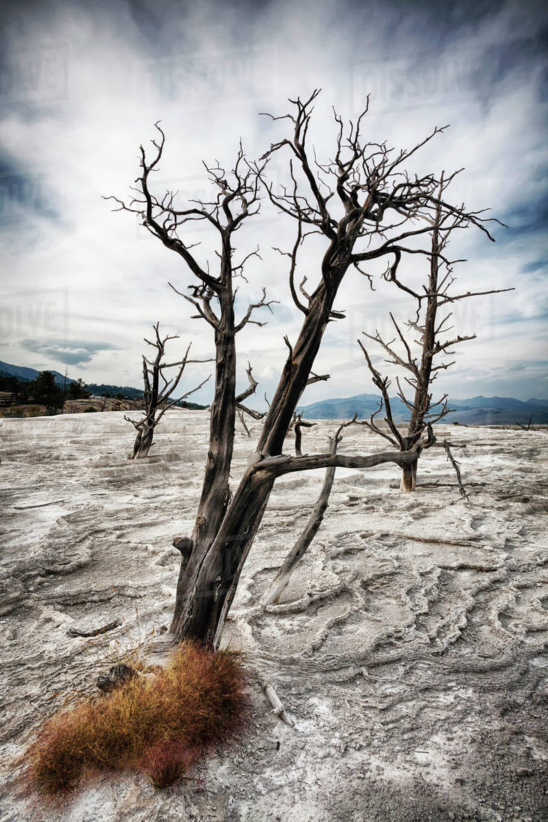 Mammoth Hot Springs, Canary Spring, Dead tree Royalty-free stock photo