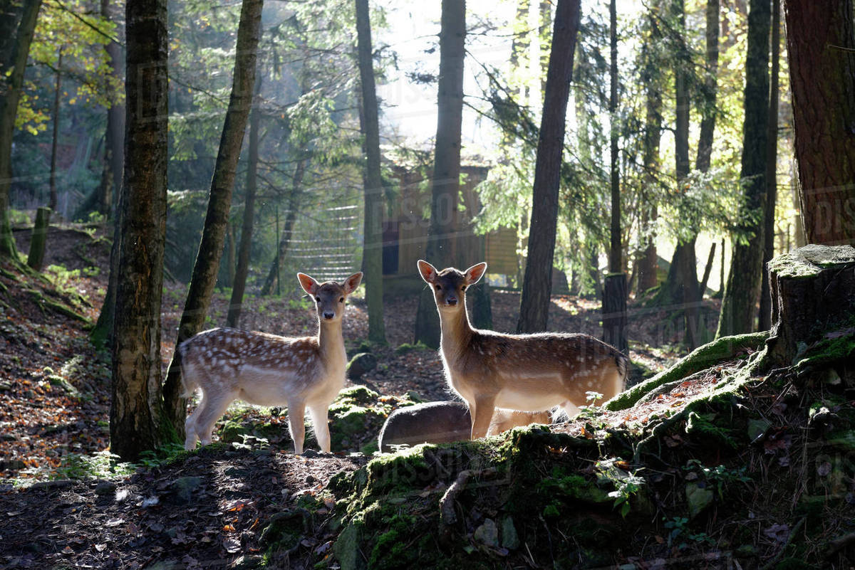 Germany, Furth im Wald, fallow deers at wildlife park Rights-managed stock photo