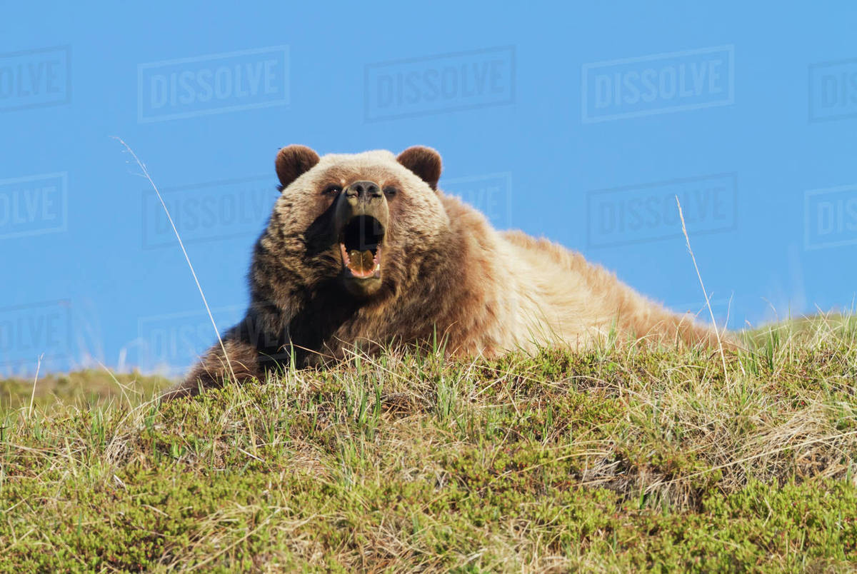 grizzly bear resting in - photo #16
