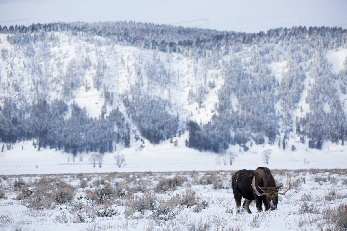 Moose grazing on snow covered field Royalty-free stock photo