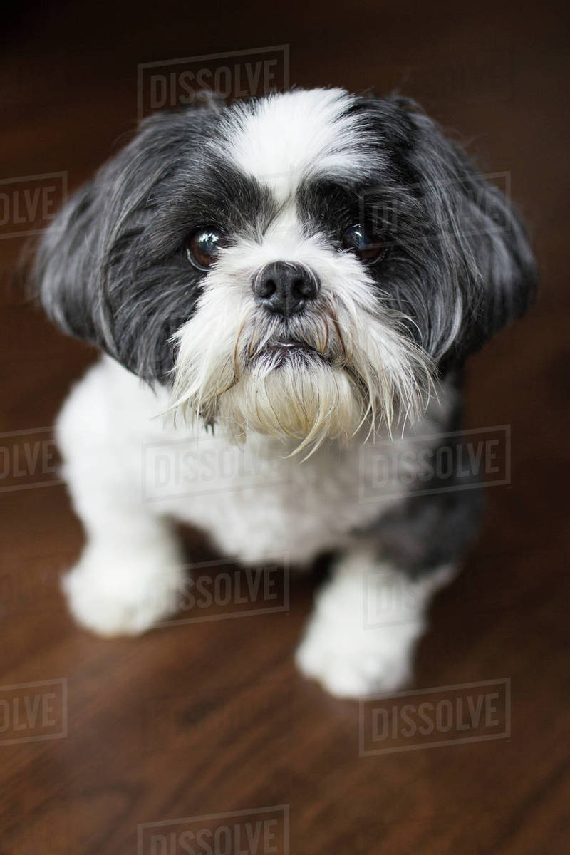 High angle portrait of dog standing on wooden table at home Royalty-free stock photo