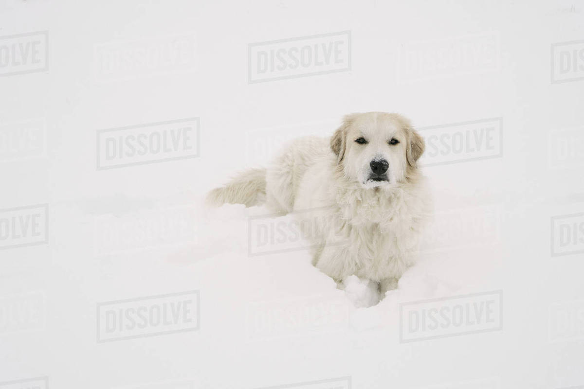 Portrait of Golden Retriever relaxing on snow covered field Royalty-free stock photo