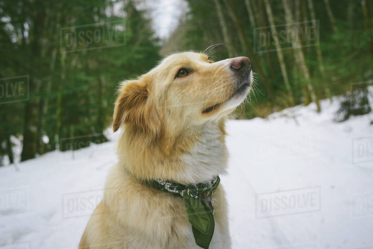 Close-up of dog looking away while sitting on snow covered field Royalty-free stock photo