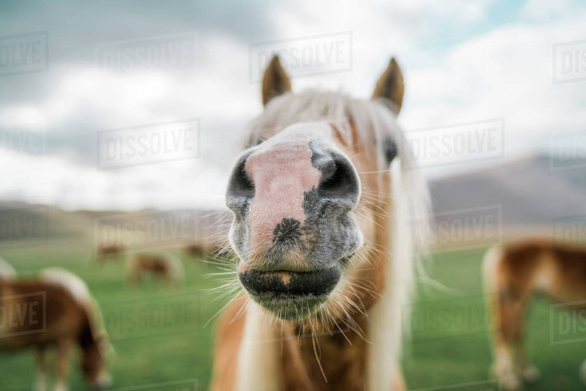 Close-up of horse snout standing on field Royalty-free stock photo