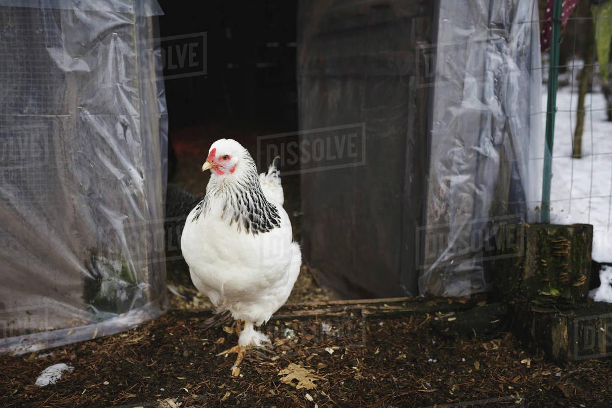 Hen standing at doorway of chicken coop Royalty-free stock photo