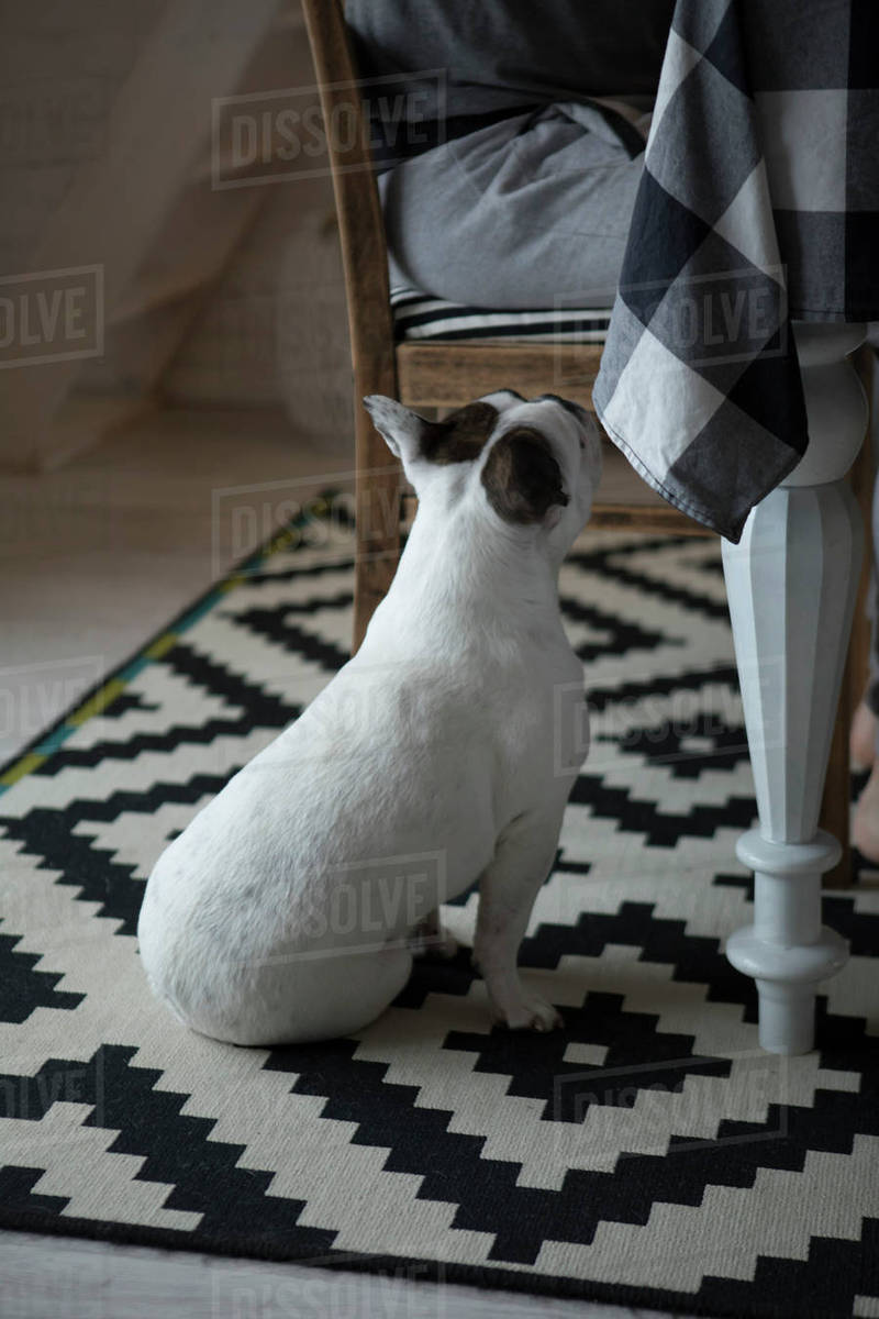 French bulldog looking at woman sitting on chair at home Royalty-free stock photo