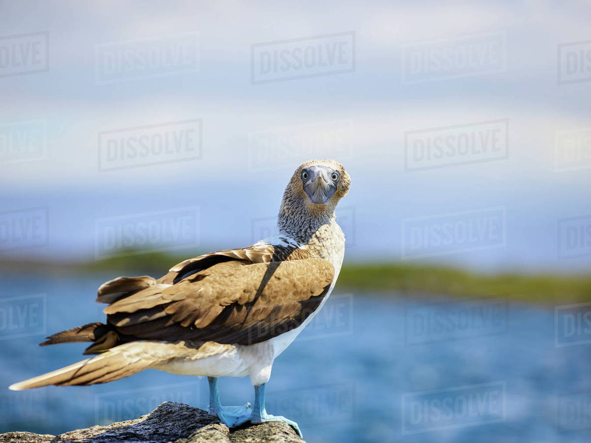 Portrait of blue-footed booby standing on rock by lake against sky during sunny day Royalty-free stock photo