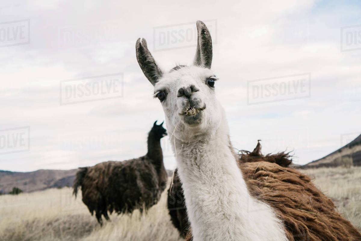 Portrait of llama on field against sky Royalty-free stock photo