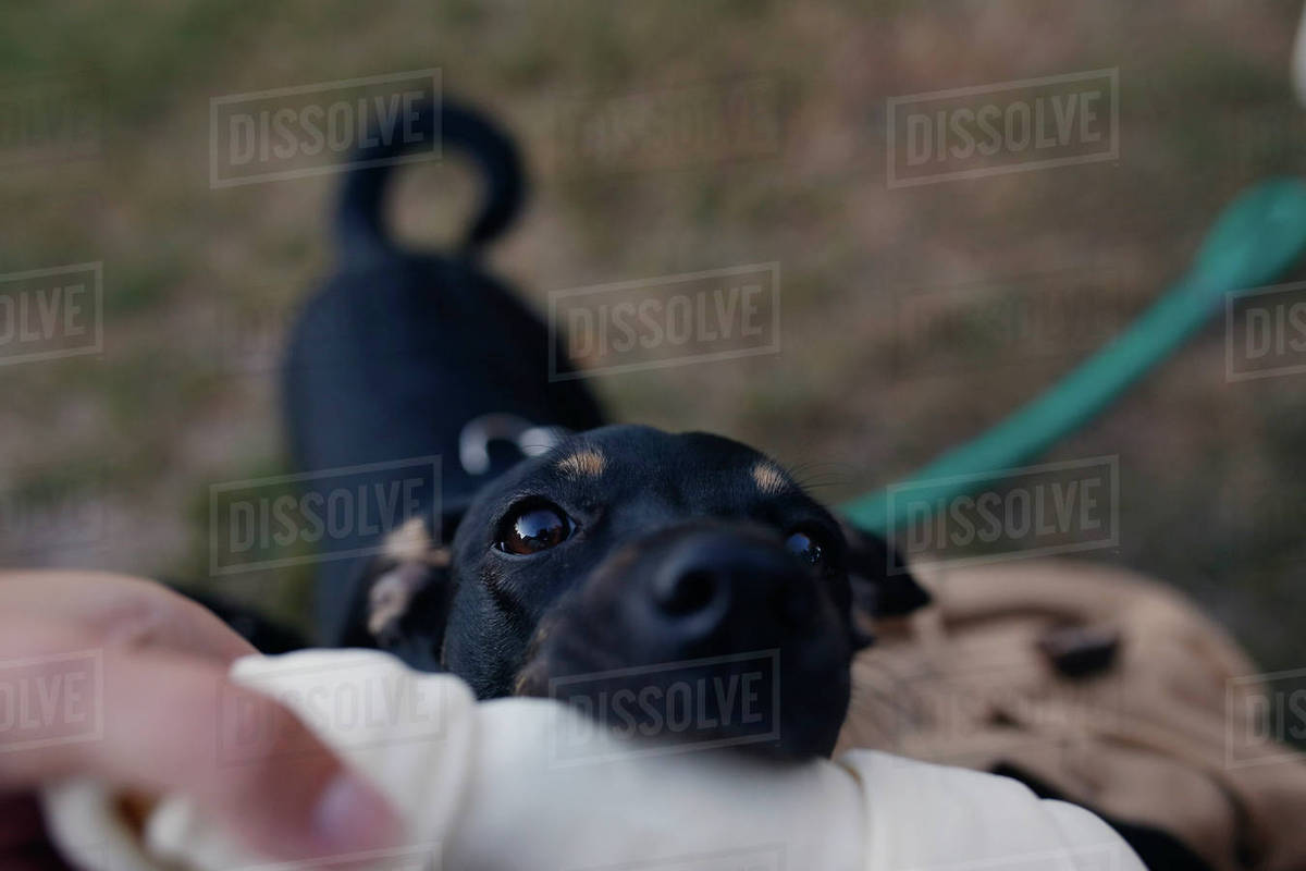 Close-up of dog biting artificial dog bone held by woman Royalty-free stock photo