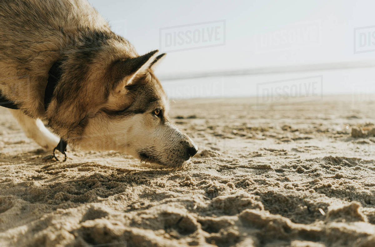 Side view of dog on beach sniffing the sand Royalty-free stock photo