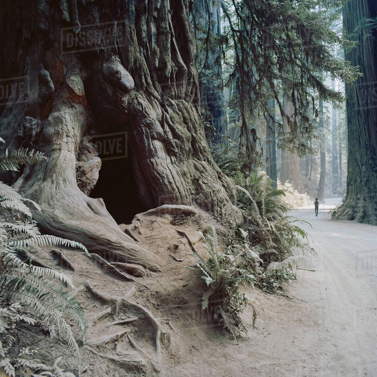 USA, California, Man walking through Jedediah Smith Redwood State Park Royalty-free stock photo