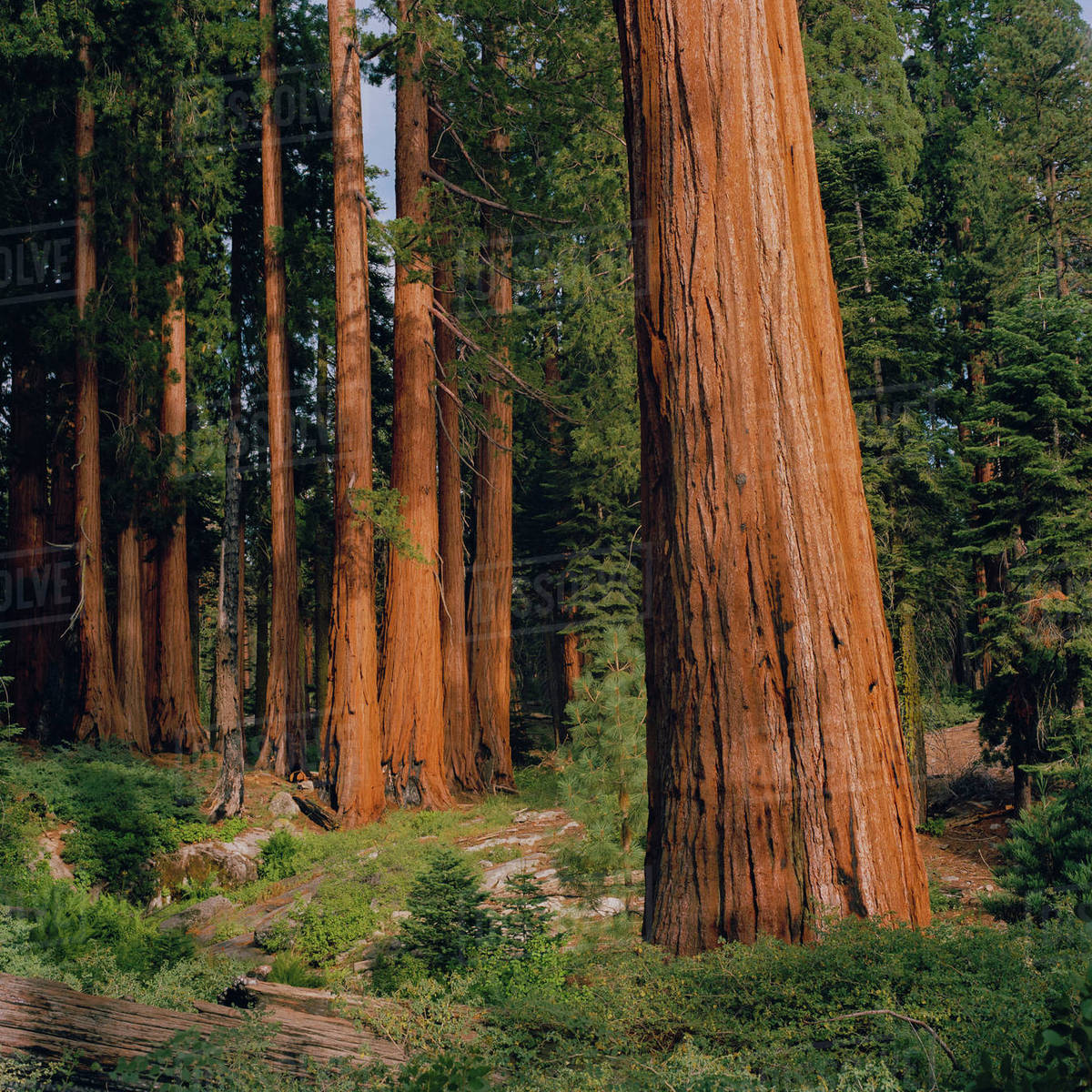USA, California, Sequoia National Park, Sequoia forest Royalty-free stock photo