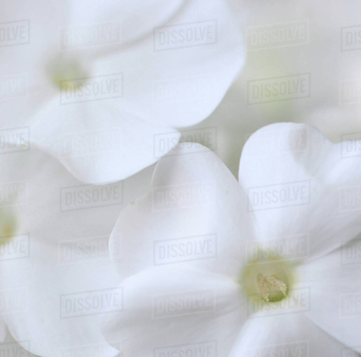White Phlox Royalty-free stock photo