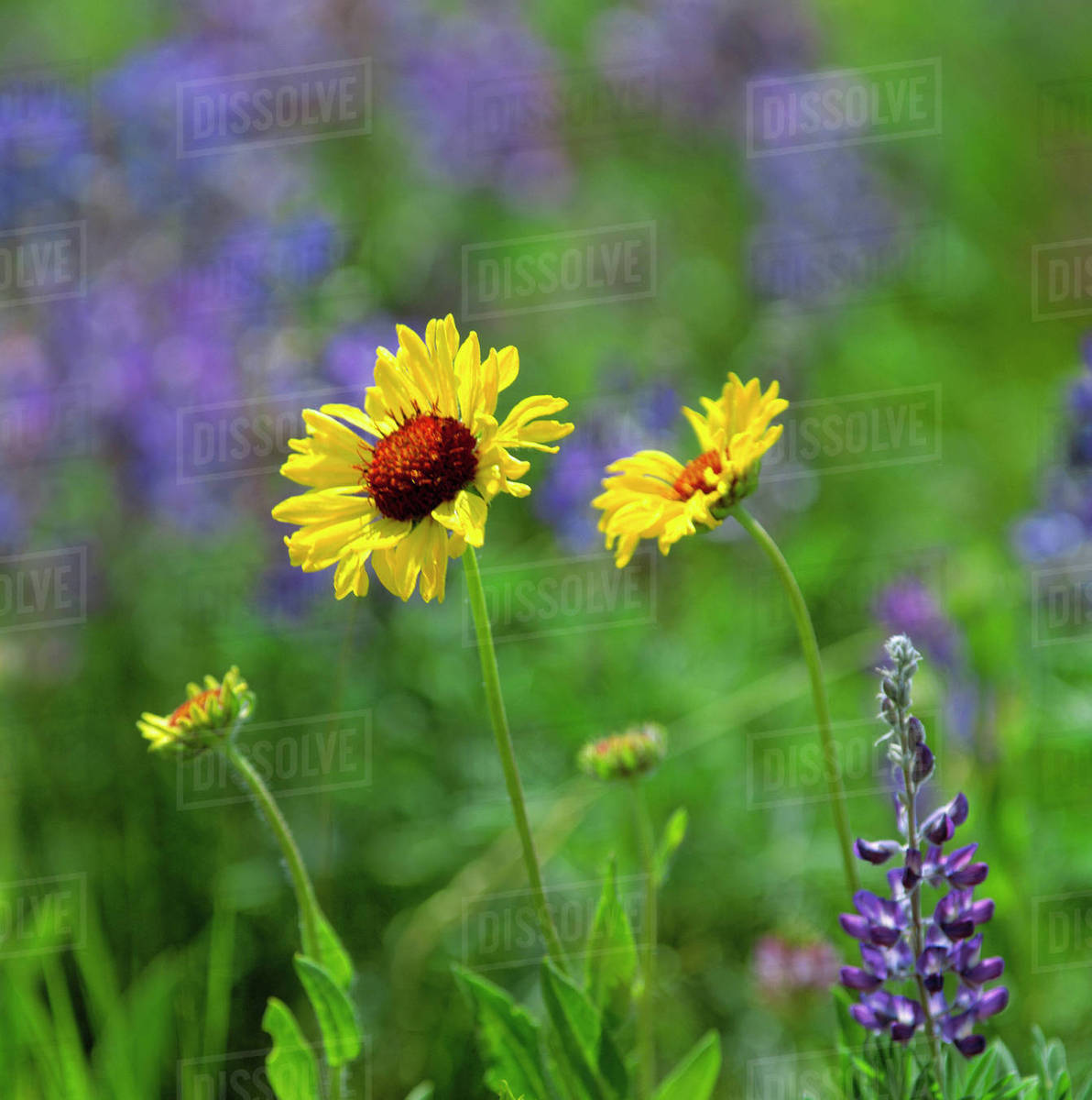 USA, Montana, Glacier National Park. Black-eyed Susans and lupine fill the meadow in Glacier National Park, Montana Royalty-free stock photo
