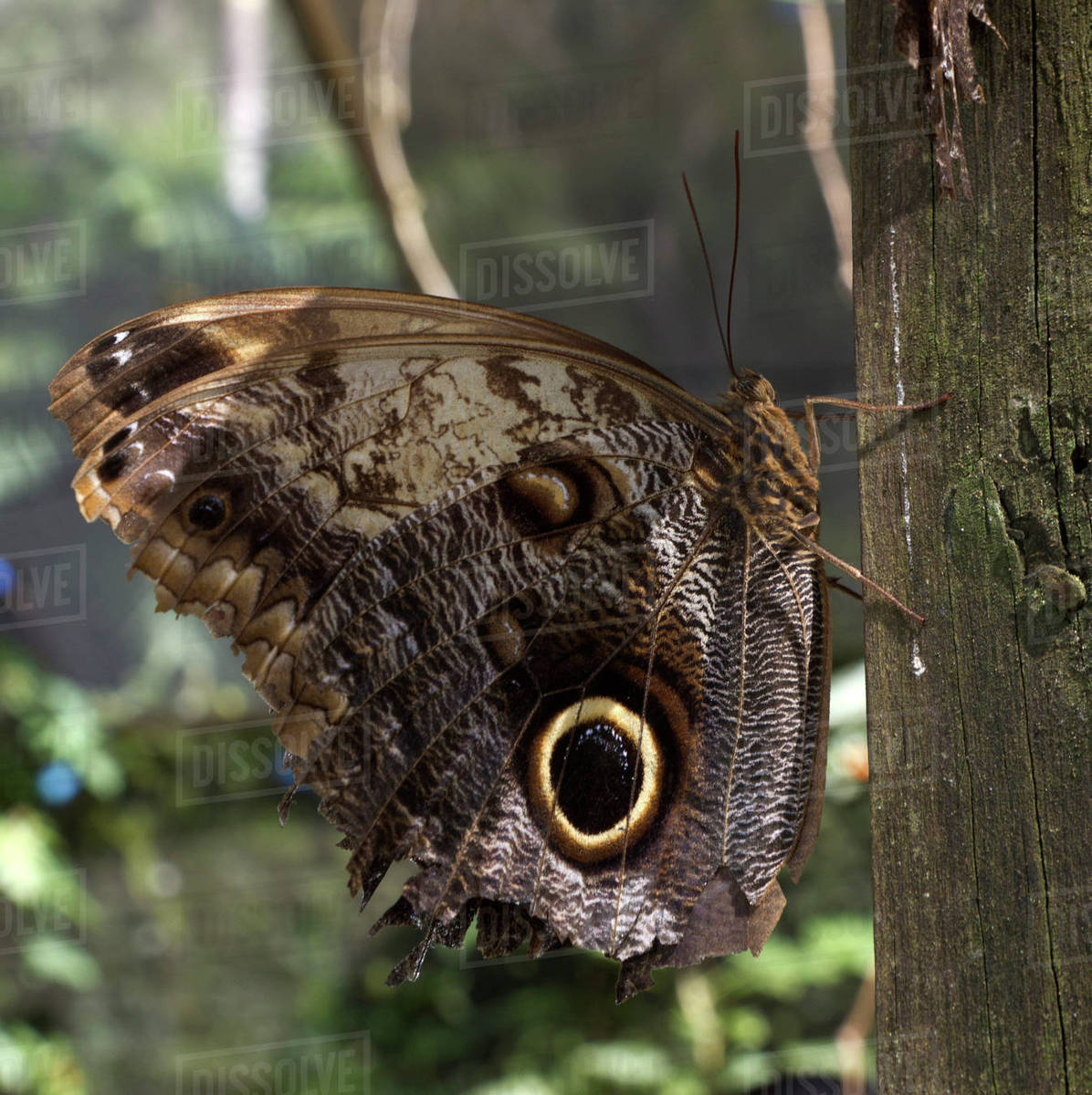 Owl-eye butterfly (Caligo), Green Hills Butterfly Farm, Belize Rights-managed stock photo