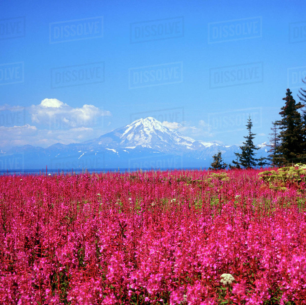 North America, USA, Alaska, Mt, Redoubt and Fireweed from Kenai Peninsula over Cook Inlet Rights-managed stock photo