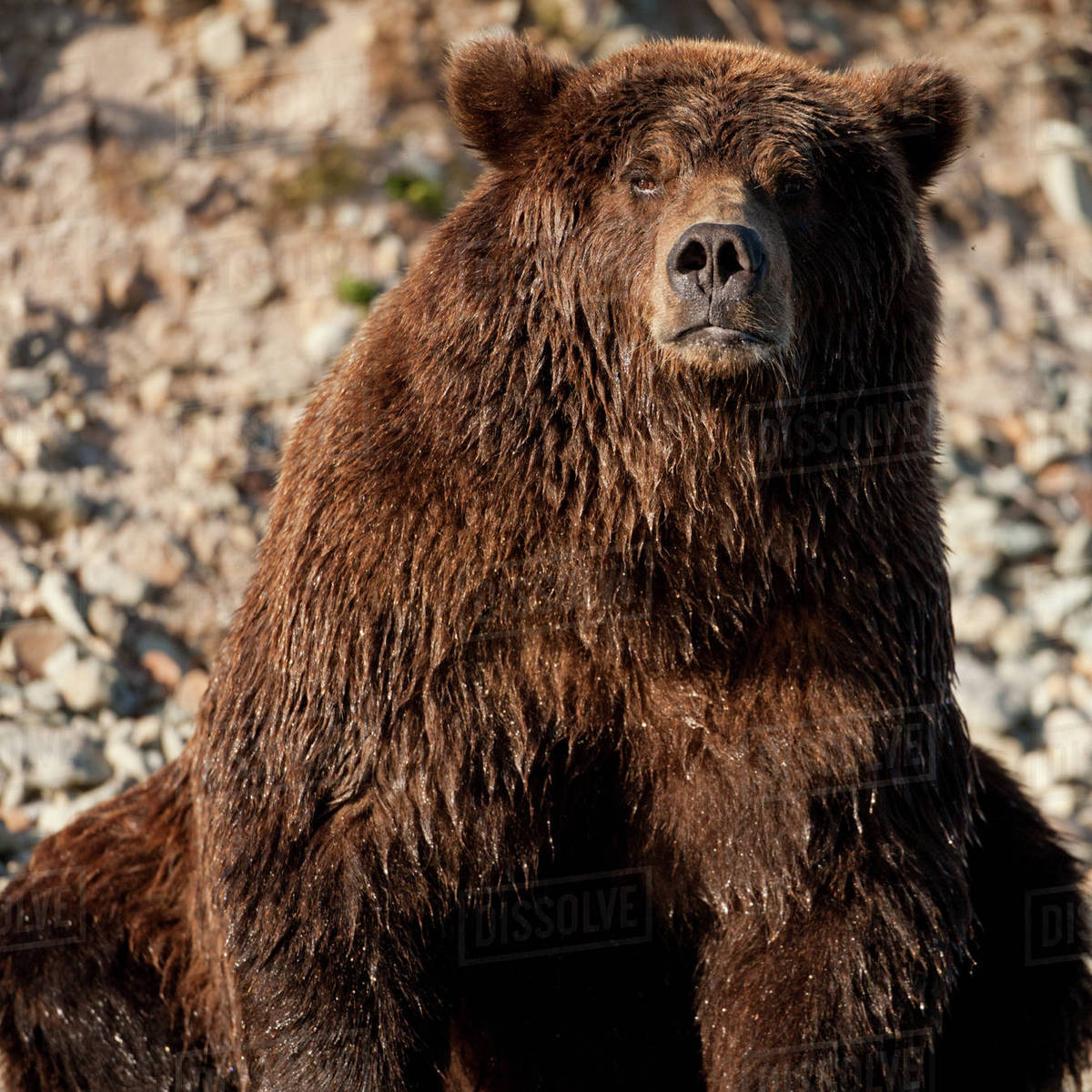 USA, Alaska, Katmai National Park, Close-up portrait of adult male Coastal Brown Bear (Ursus arctos) resting along salmon spawning stream by Kinak Bay Rights-managed stock photo