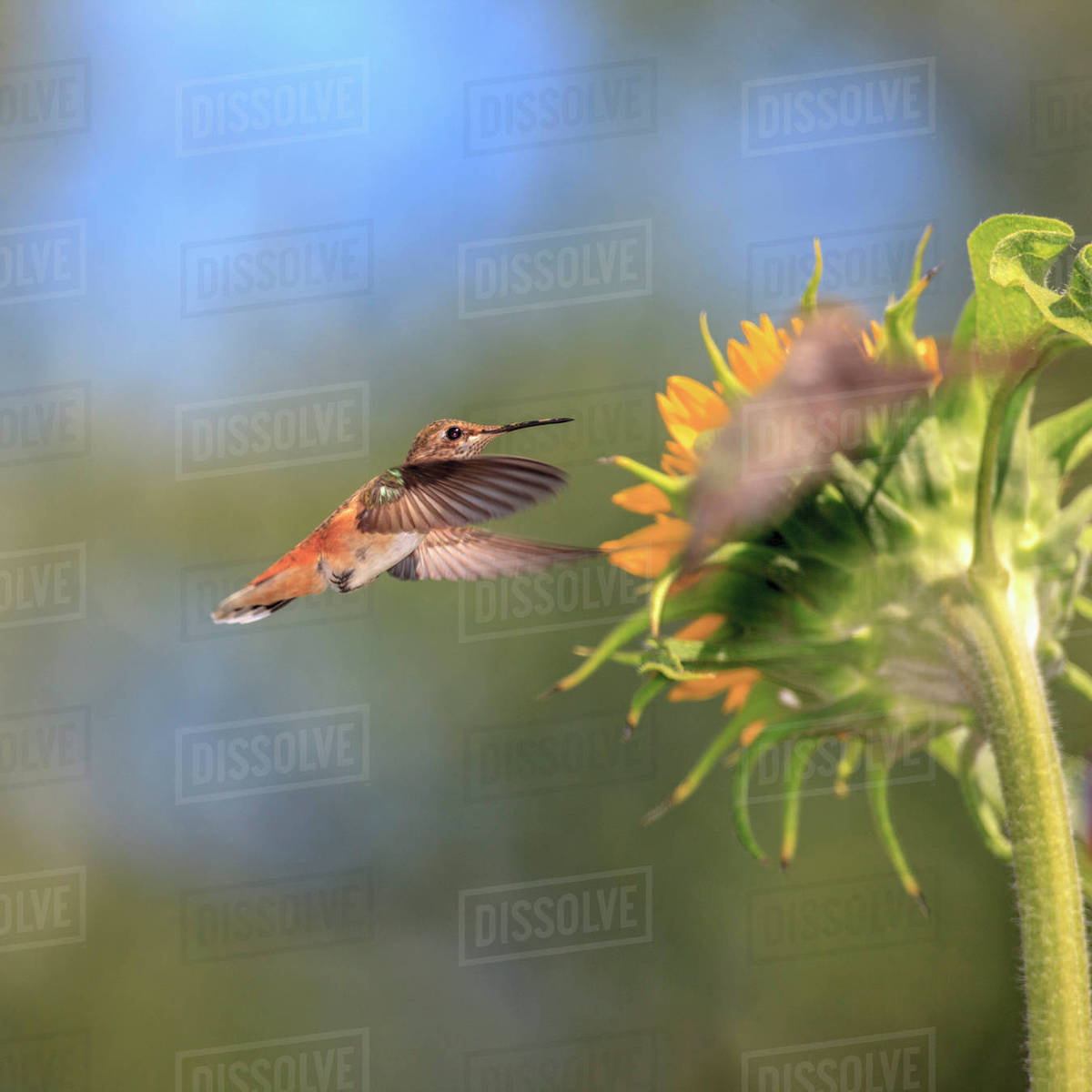Anna's Hummingbird. Santa Cruz, California, USA. Rights-managed stock photo