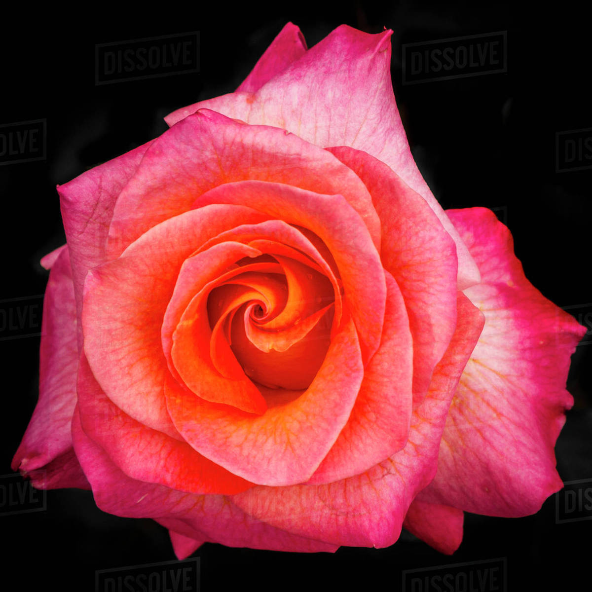 USA, Maryland, Montgomery County. Mardi Gras floribunda rose at Brookside Gardens. Rights-managed stock photo