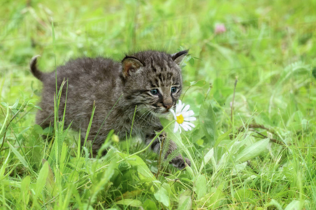 USA, Minnesota, Sandstone, Minnesota Wildlife Connection. Bobcat kitten in spring grasses with daisy. Rights-managed stock photo